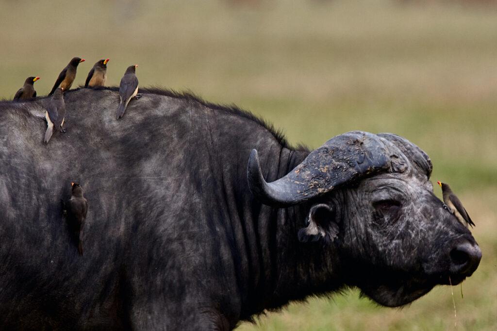 Oxpeckers on a buffalo.