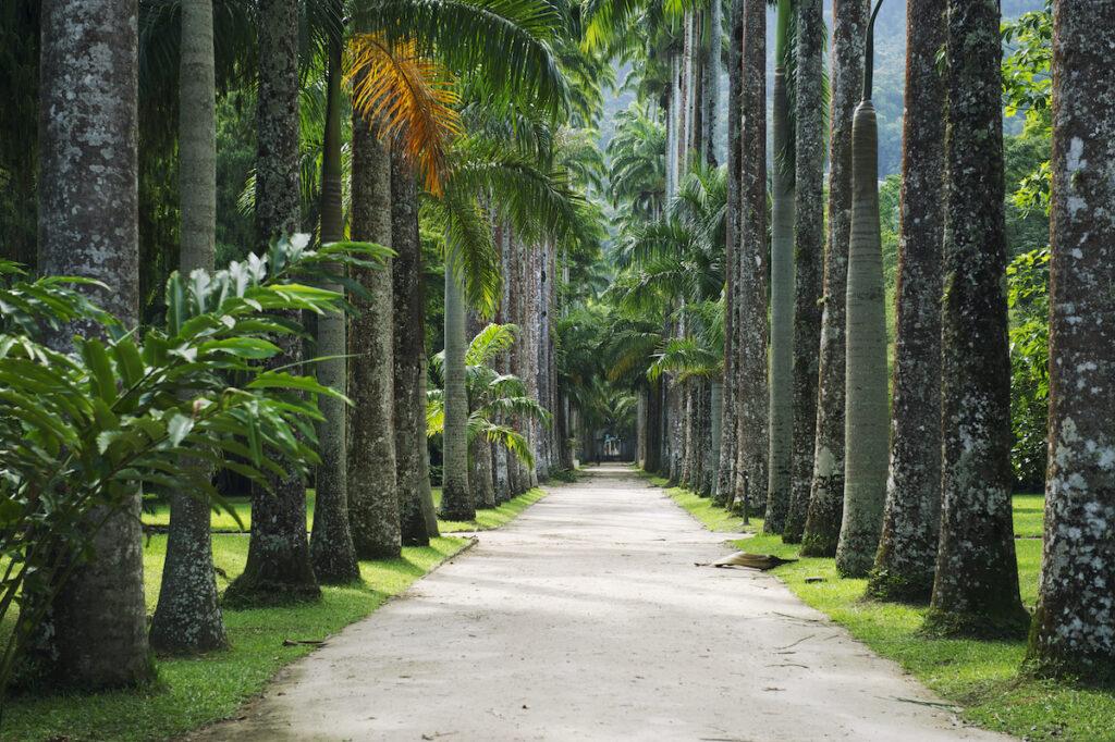 Palm trees at the Botanical Garden in Rio de Janeiro.