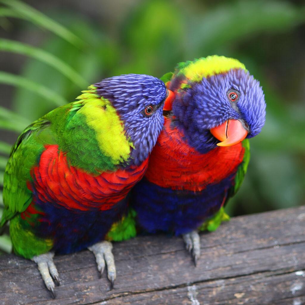 Parrots at the Botanical Garden of Deshaies.