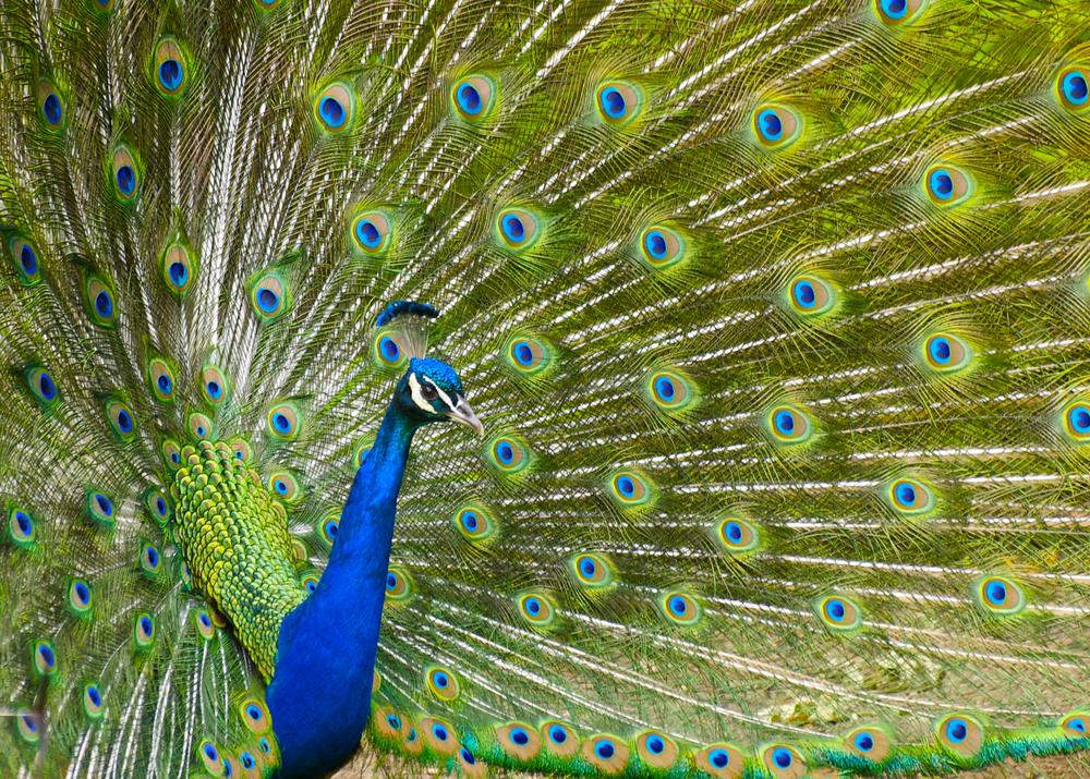 peacock at the Cincinnati Zoo in Cincinnati