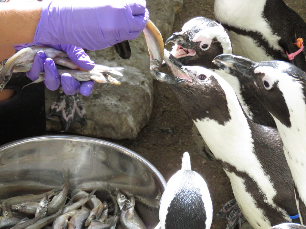 Penguins eating fish from a trainer.