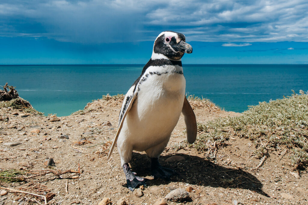 Penguins in Patagonia.