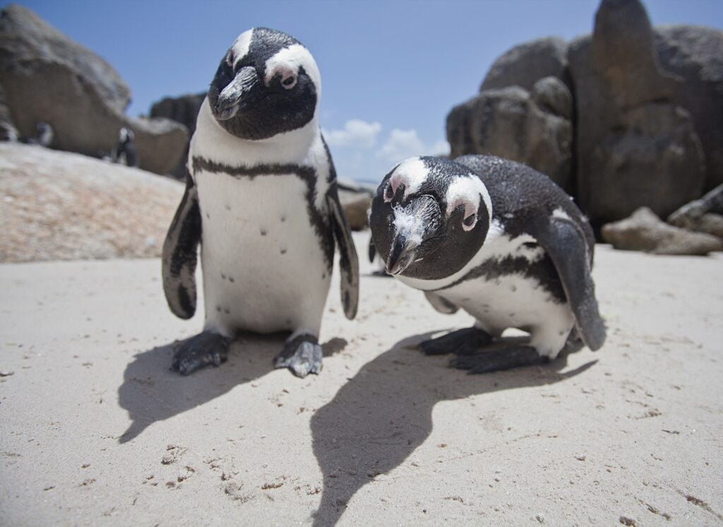 Penguins in South Africa.