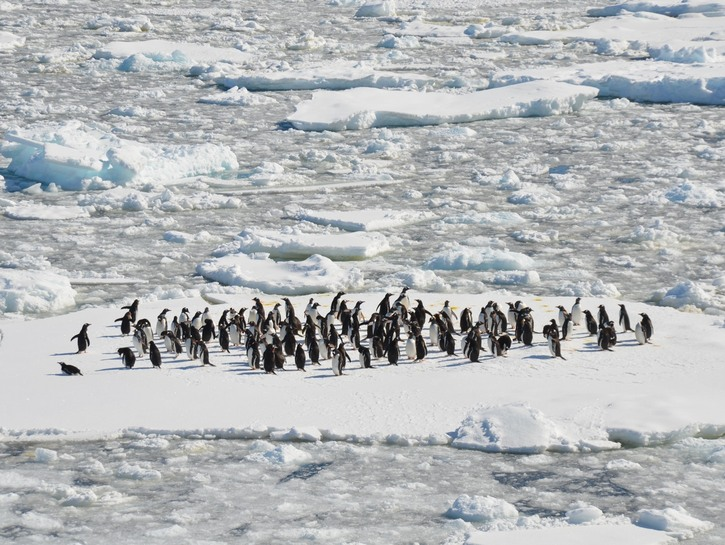 Penguins on a floating ice flow