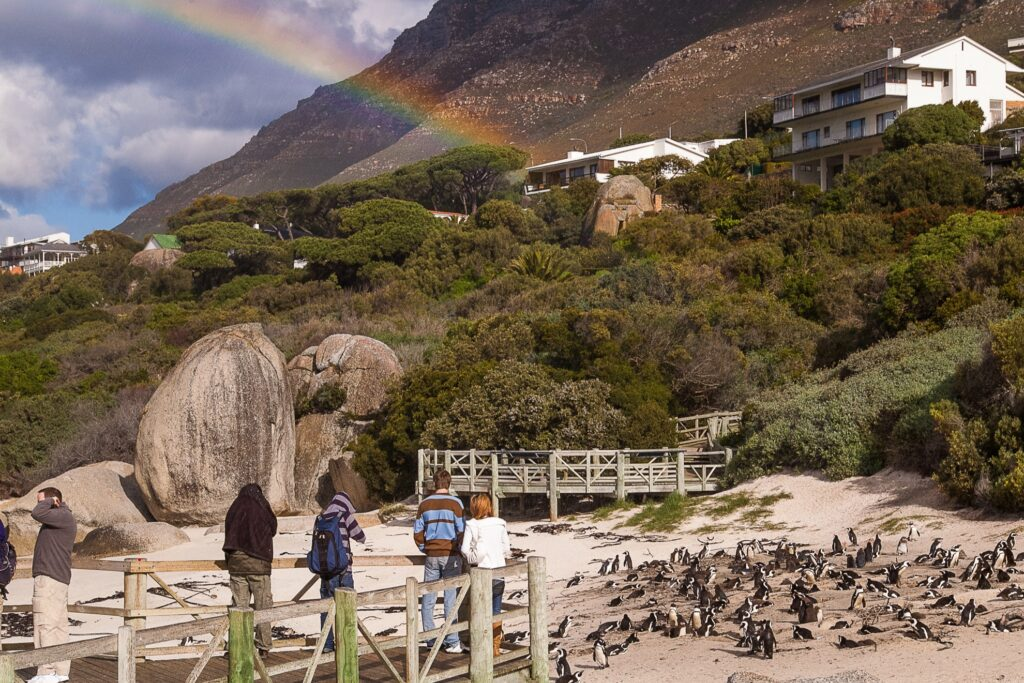 Penguins on Boulders Beach in South Africa.