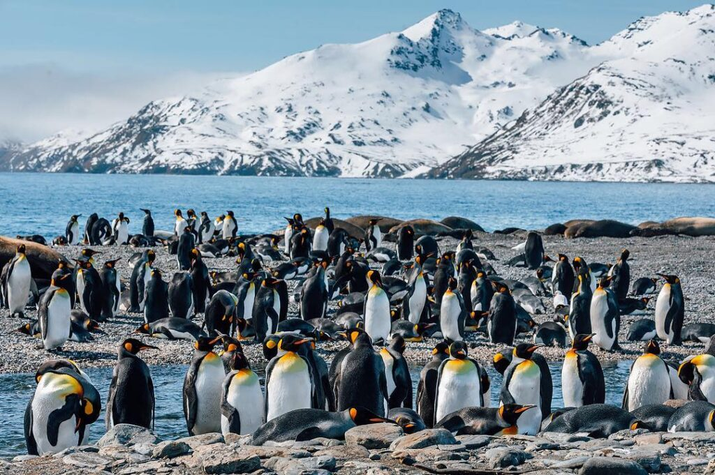 Penguins on South Georgia Island.