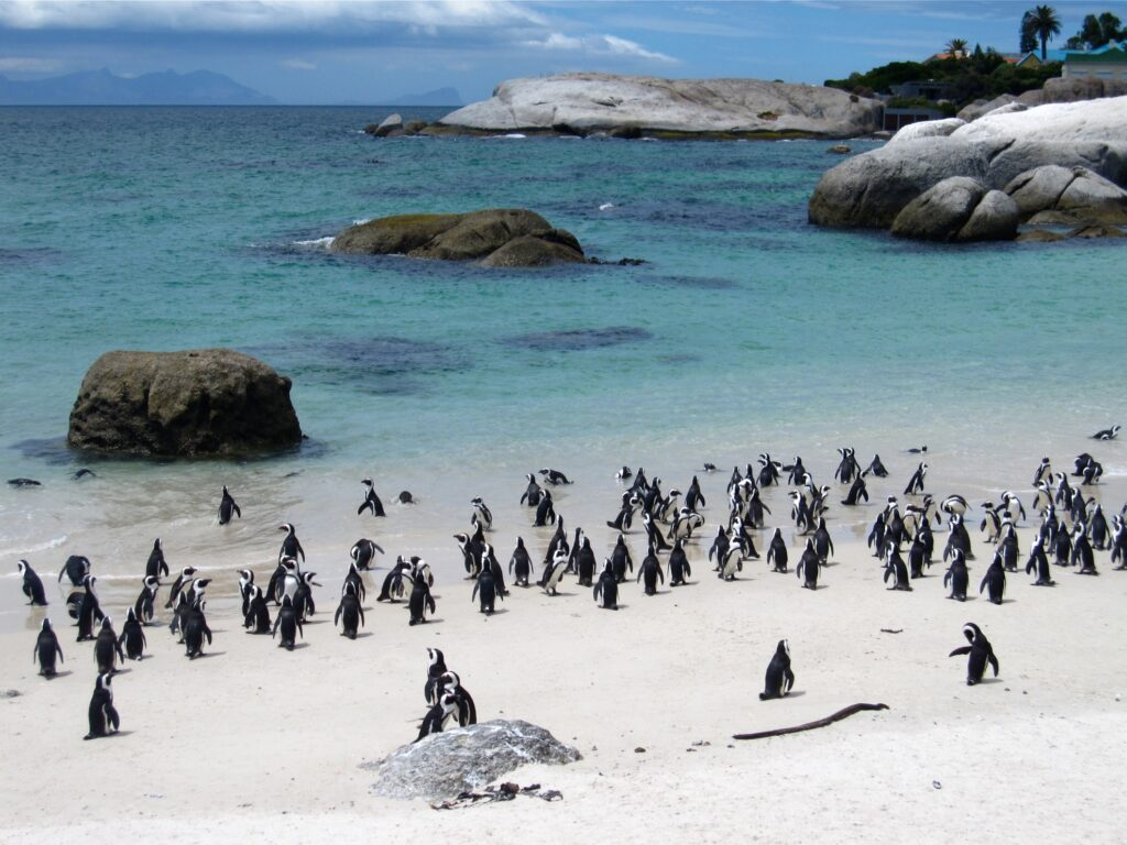 Penguins on the shore of Boulders Beach.
