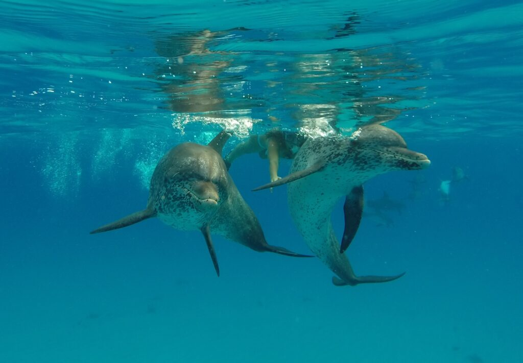 Person swimming with wild dolphins.