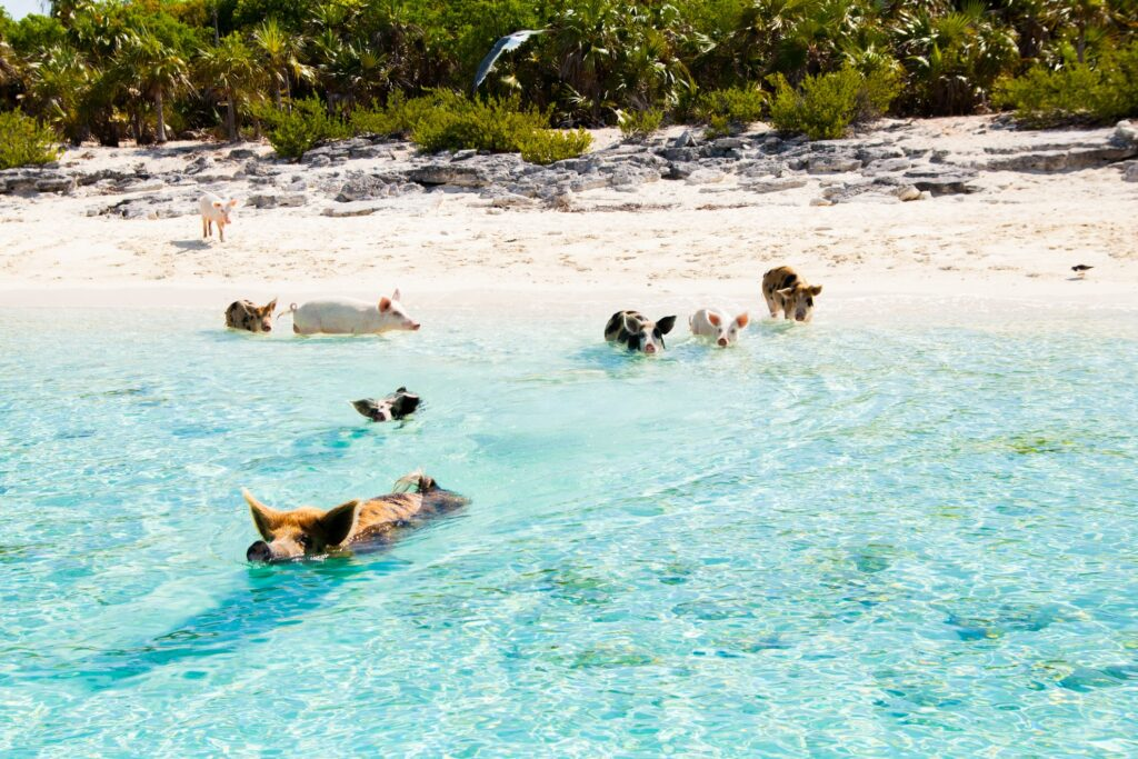 Pigs swimming in the Bahamas.