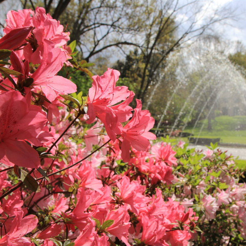 Pink azaleas in Texas.