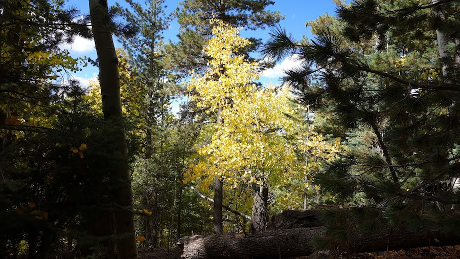 Ponderosa pines along the Kachina Trail near Flagstaff.
