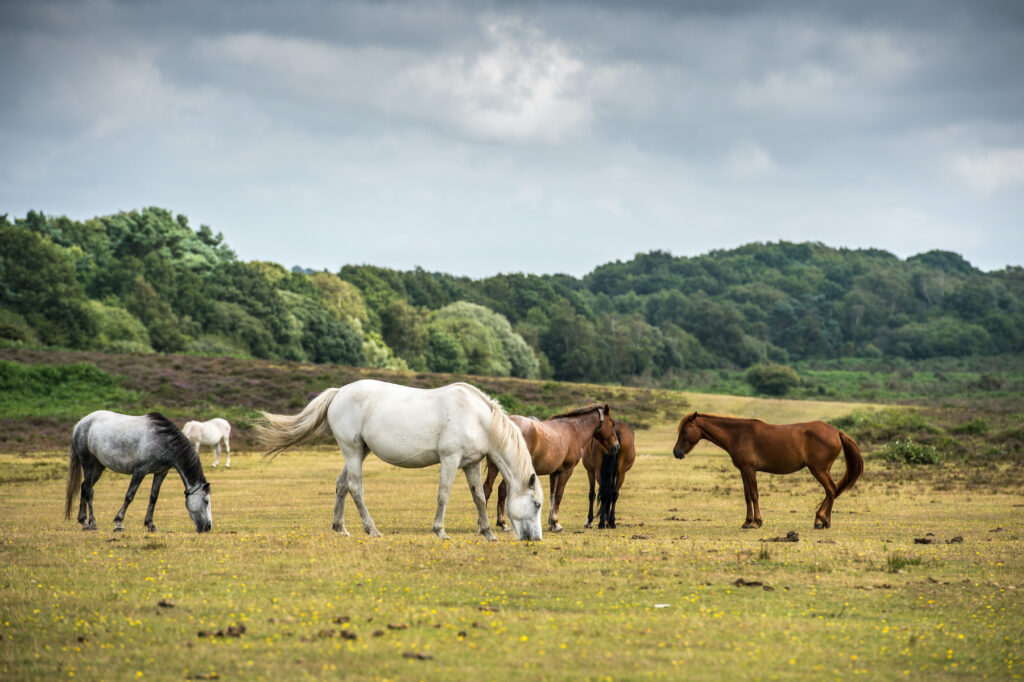 Ponies grazing in the New Forest.