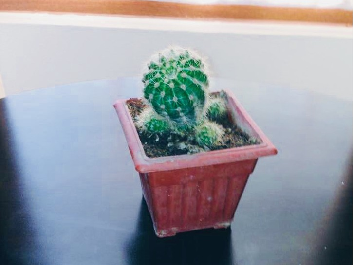 Potted cactus plant on a table.