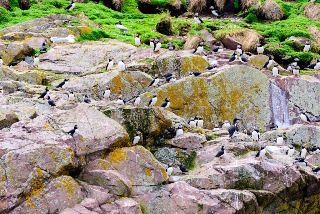 Puffins at the Witless Bay Ecological Reserve.