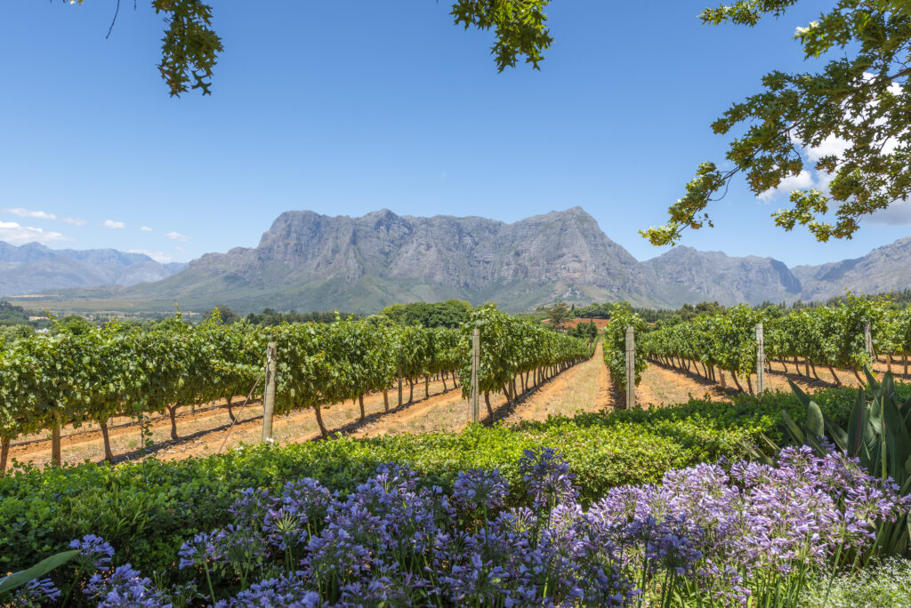 Purple flowers and grape vines in South Africa's winelands