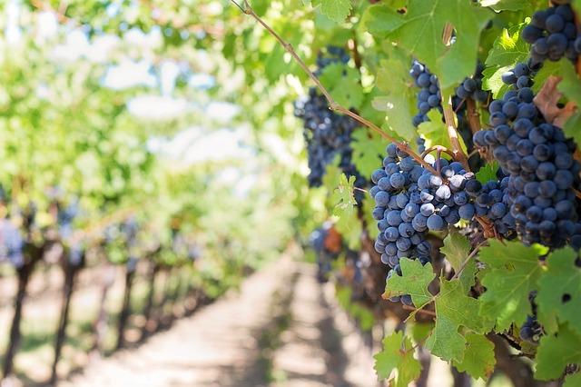 Purple grapes on the vine in Napa, California