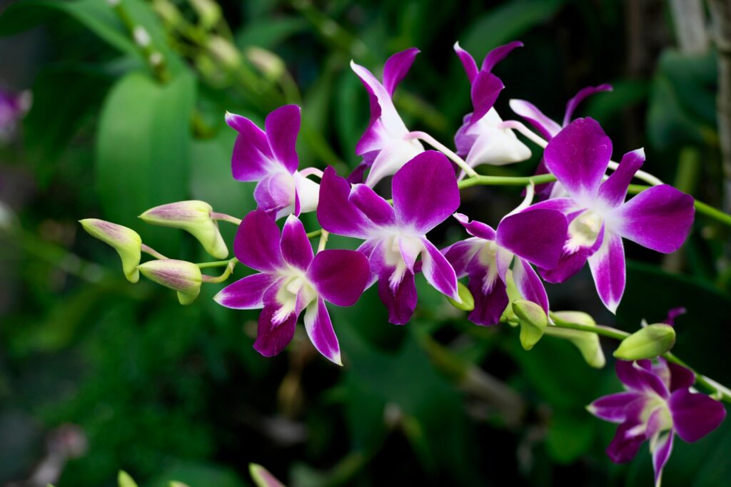 Purple orchids in Thailand.