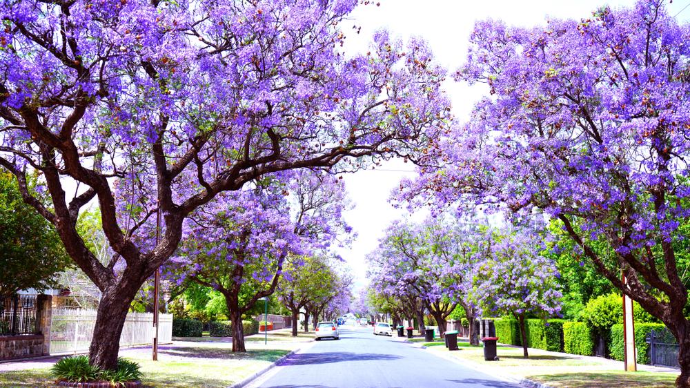 Purple trees in Adelaide.
