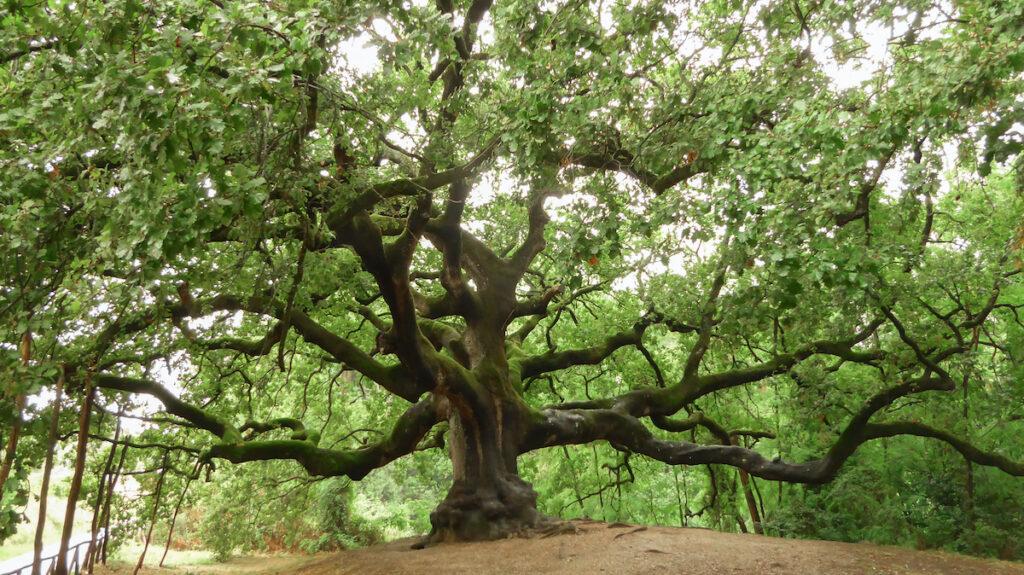 Quercia di Pinocchio (English: Pinocchio's Oak)