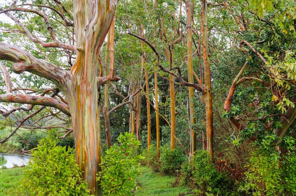 Rainbow eucalyptus trees in Hawaii.