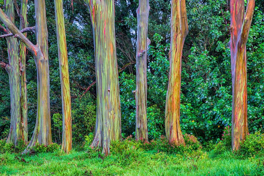 Rainbow eucalyptus trees in Maui, Hawaii.