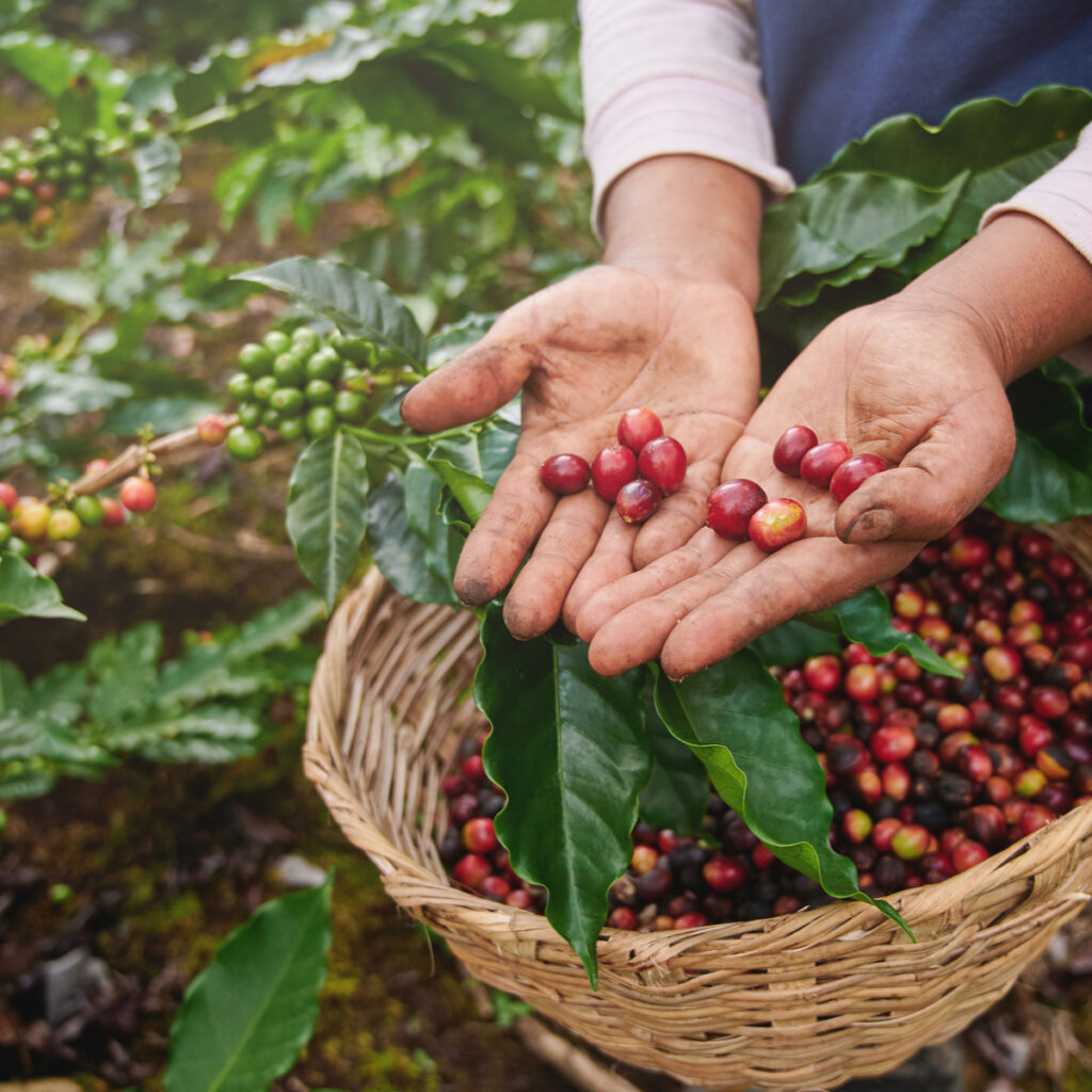 """Red coffee """"cherries"""" being picked from a coffee plant."""