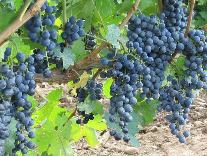 Red grapes on vine, Niagara region Ontario