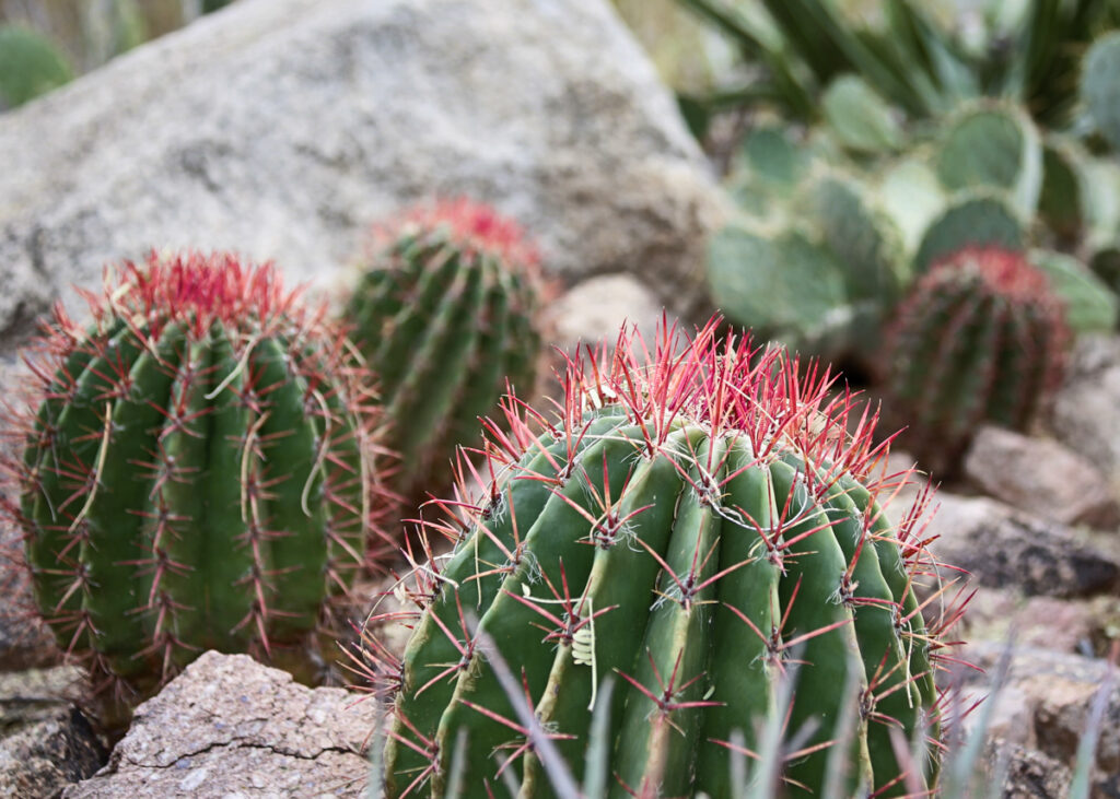 Red tipped cacti at the Desert Botanical Garden in Phoenix, Arizona.