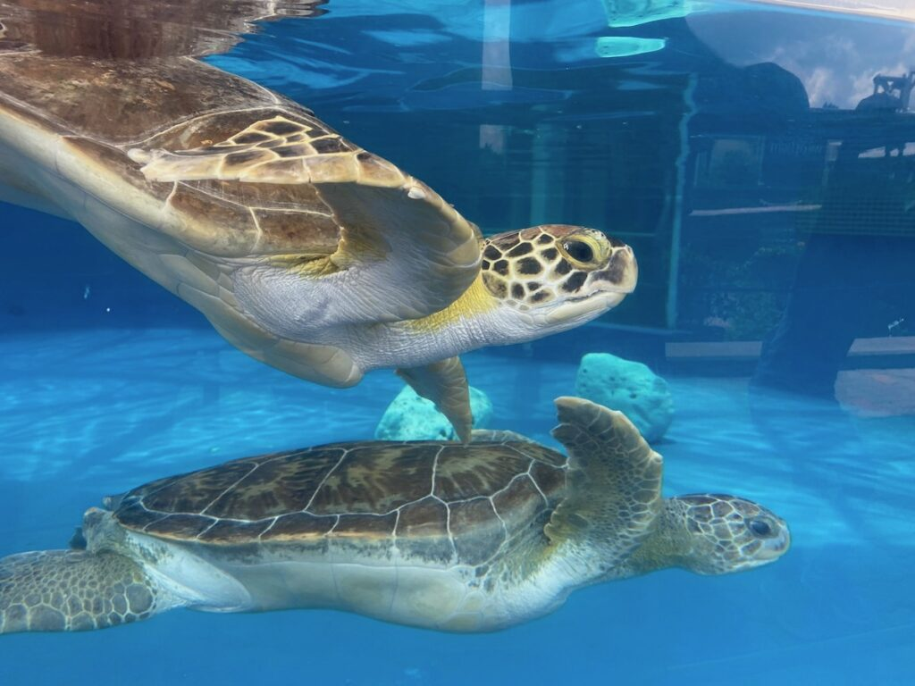 Rehabilitated turtles in captivity on South Padre Island.