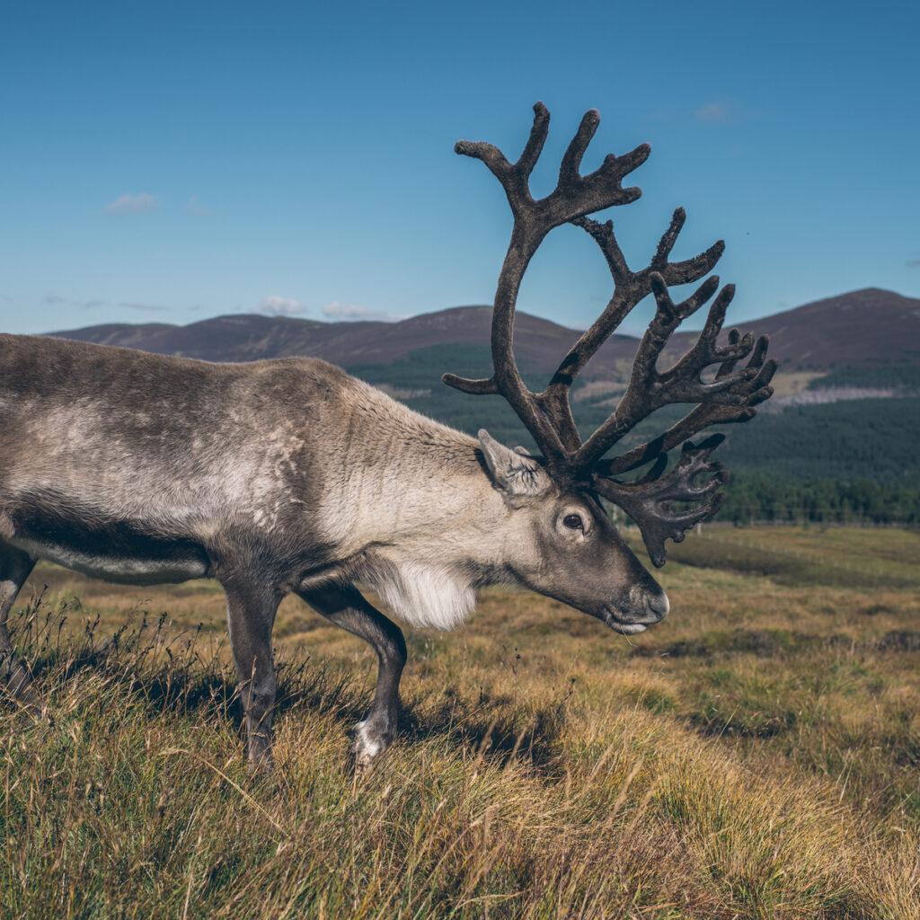 Reindeer at Cairngorms National Park in Scotland.