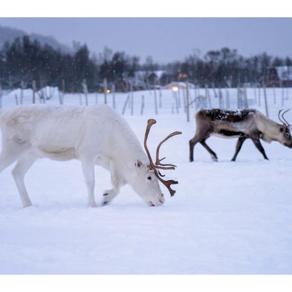 Reindeer at Tromoso Arctic Reindeer Experience in Norway.