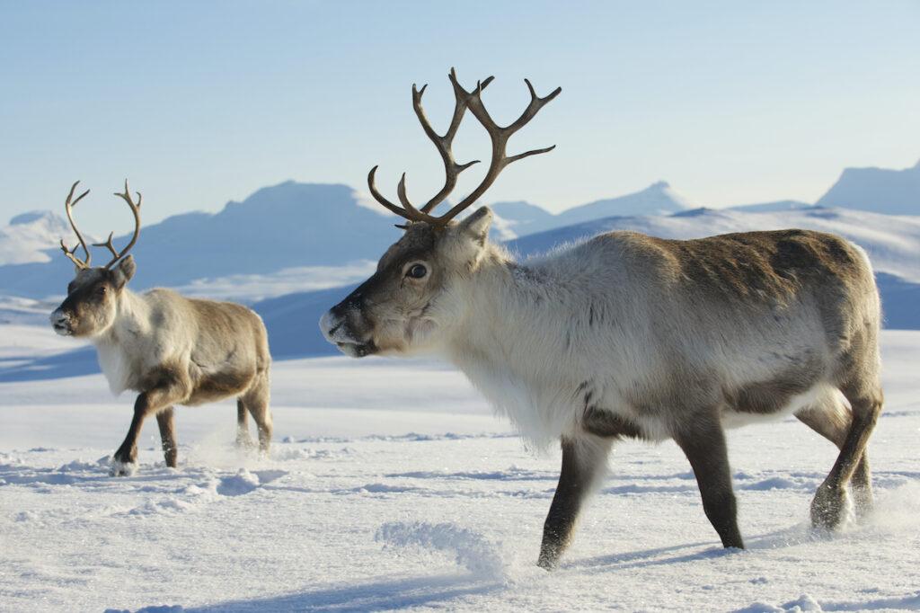 Reindeer in the Tromso region of Norway.