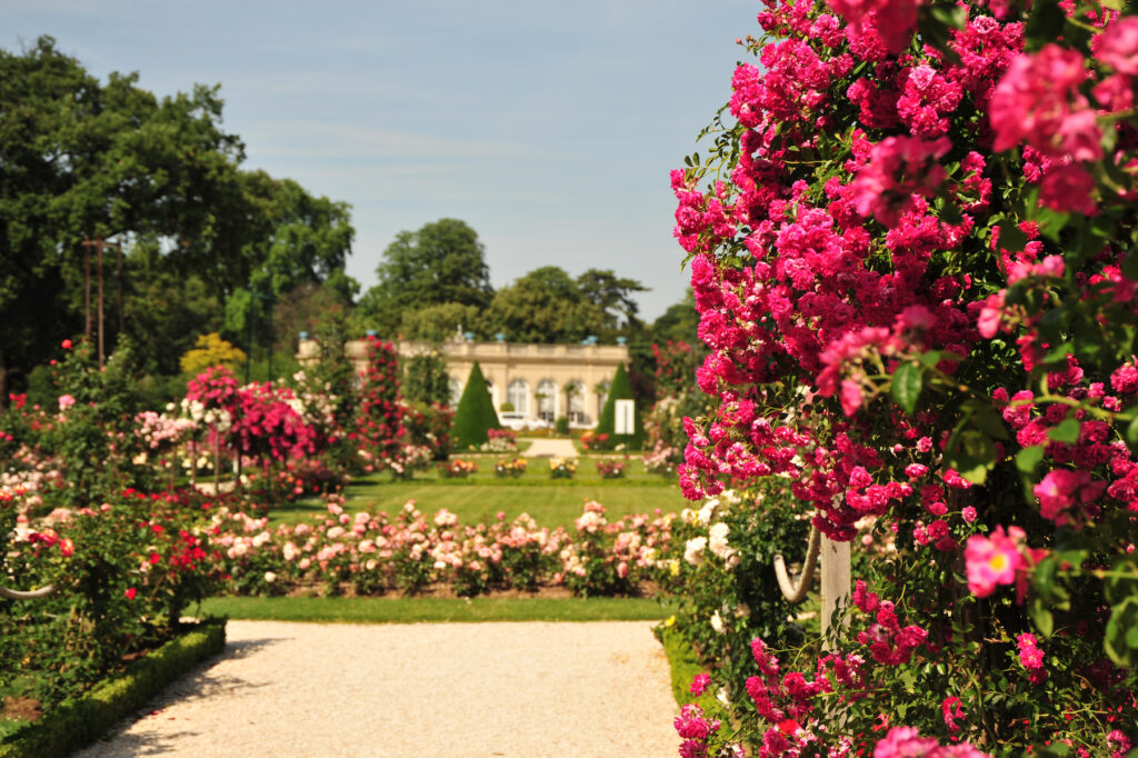 Roses at the Bagatelle Gardens just outside of Paris.