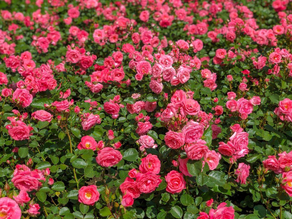Roses in Bern's Rose Garden.