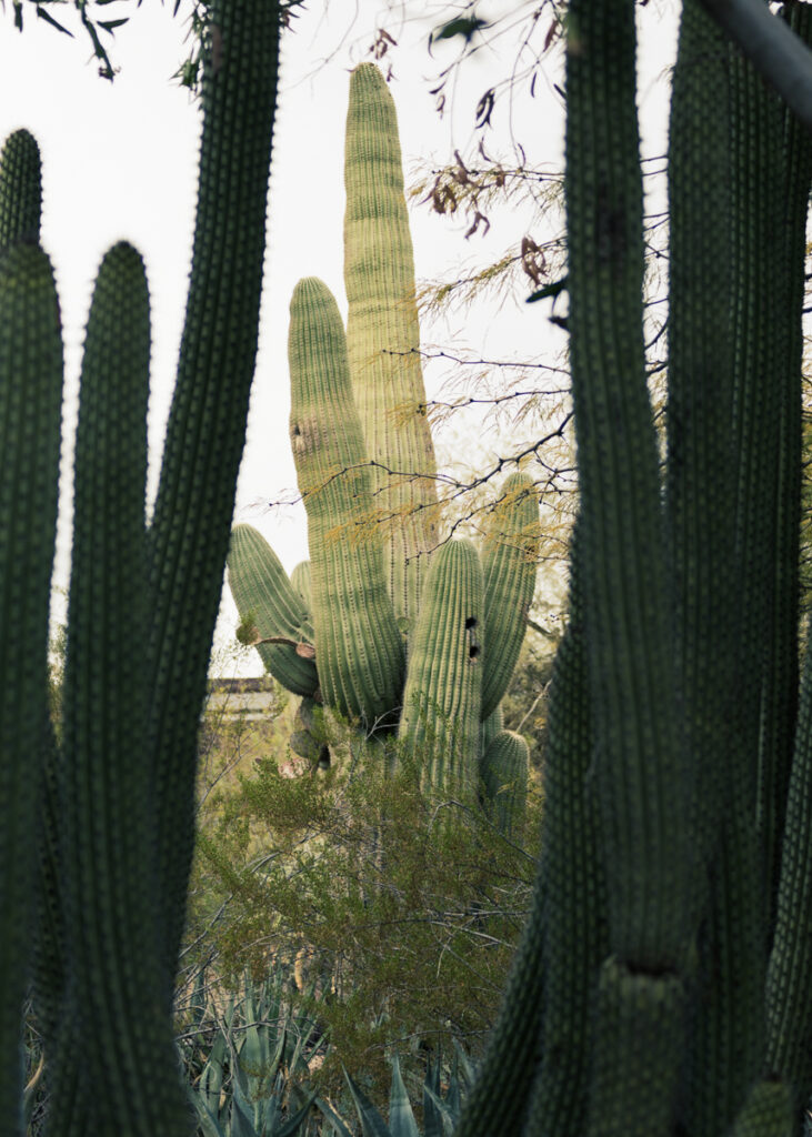 Saguaro cacti at the Desert Botanical Garden in Phoenix, Arizona.