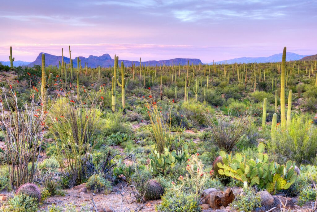 Saguaro National Park in Arizona.