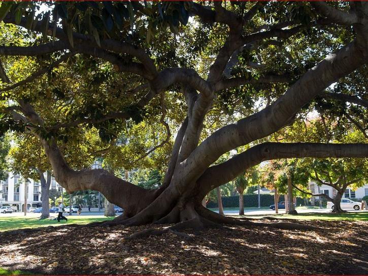 san diego balboa park moreton bay fig tree