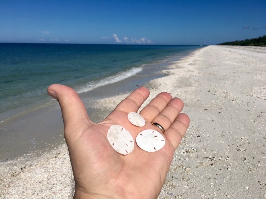 Sand dollars in Naples, Florida.