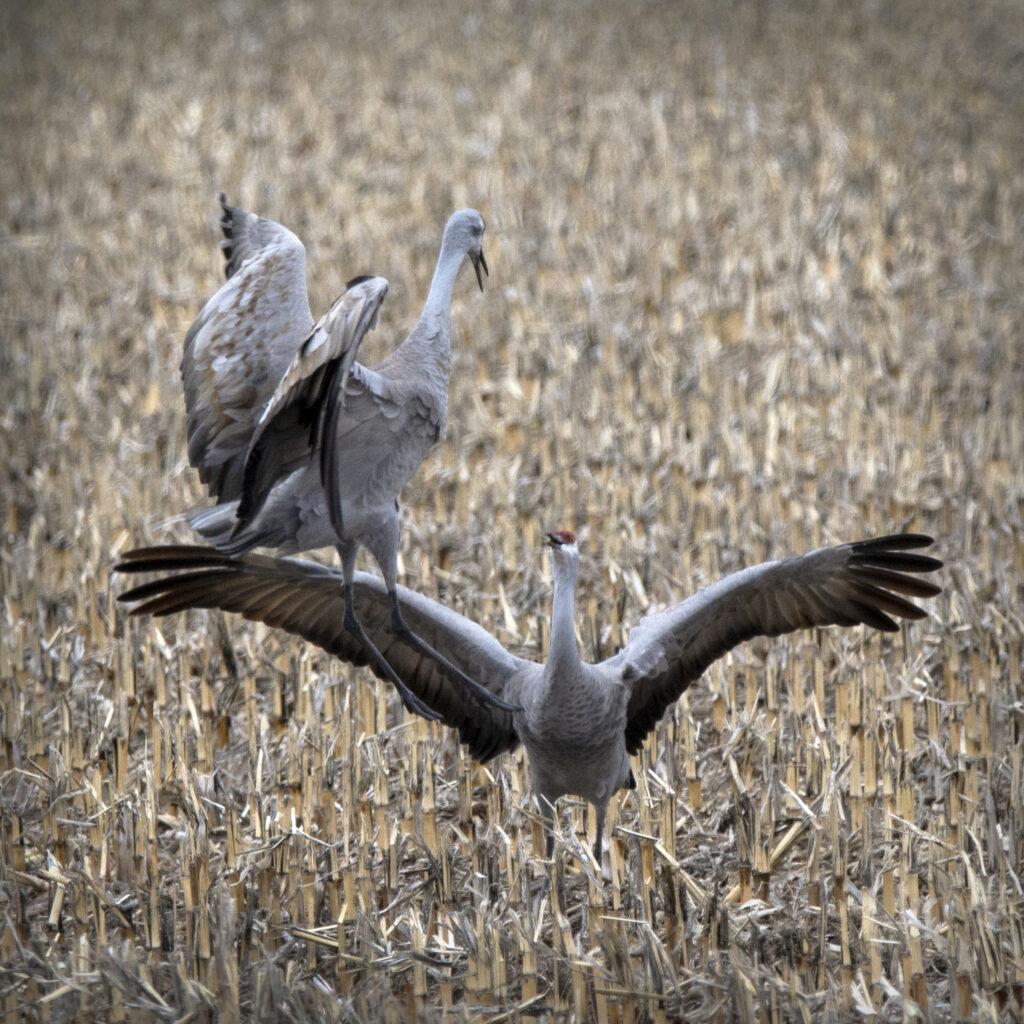 Sandhill cranes dancing during the migration.
