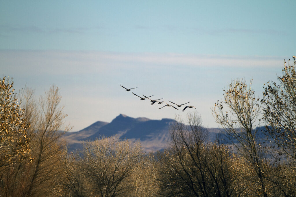 Sandhill cranes flying over the Bosque del Apache National Wildlife Refuge.