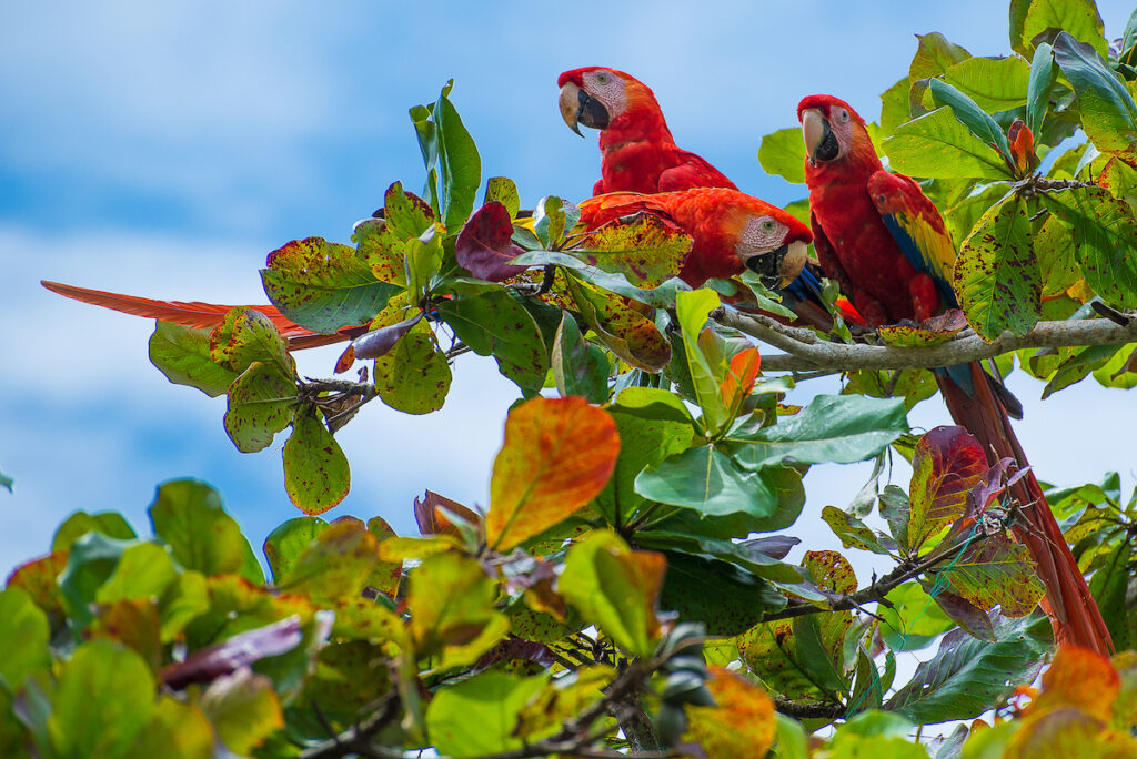 Scarlet macaws in Costa Rica.