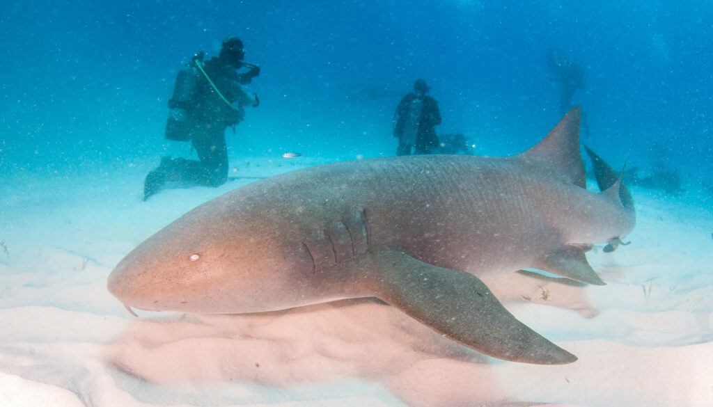 Scuba diving with hammerhead sharks on the island of Bimini.