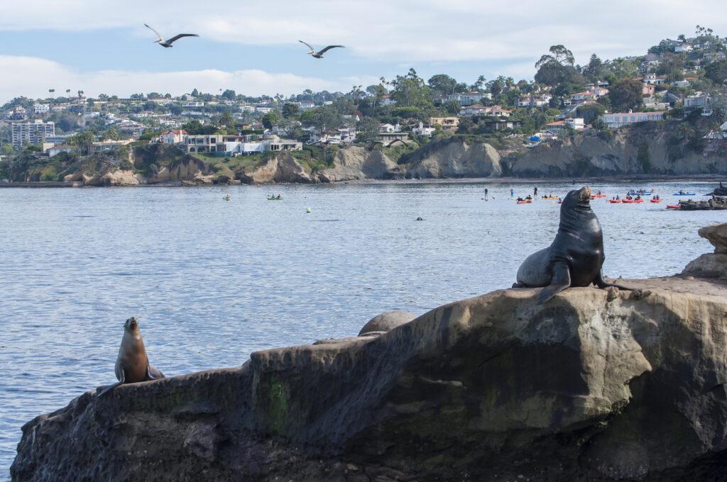 Sea lions at La Jolla Cove.