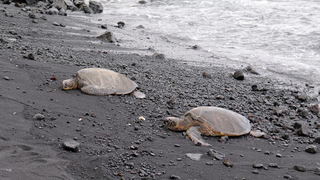 Sea turtles on the black sand beach at Punalu'u.