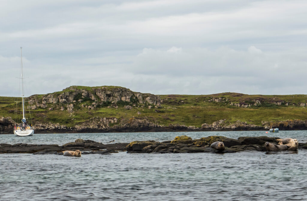 Seals on the Isle of Muck.