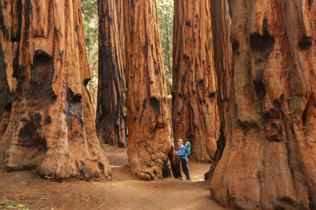 Sequoias in Mariposa Grove.