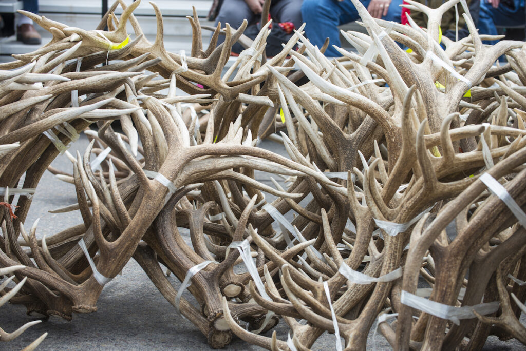 Shed antlers in Jackson Hole, Wyoming.