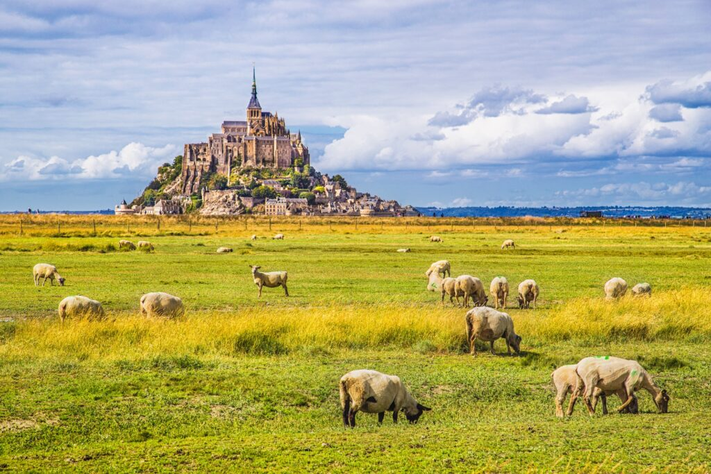 Sheep grazing near Mont-Saint-Michel.