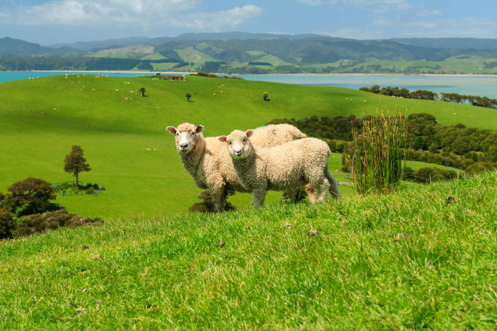 Sheep in Auckland, New Zealand.