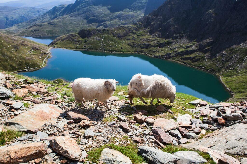 Sheep in Snowdonia, Wales.